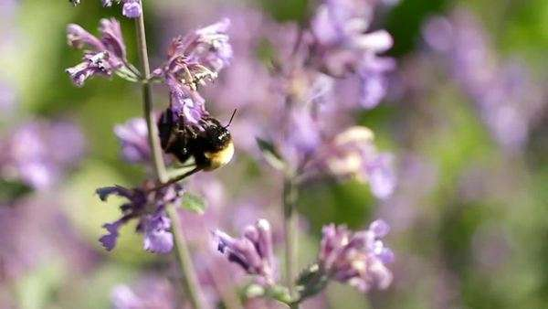 A bee flies from flower to flower, pollinating a bunch of wild-flowers Royalty-free stock video