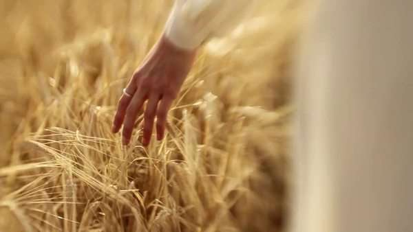 A woman in a flowing dress walks and brushes stalks of wheat in a dreamlike state Royalty-free stock video