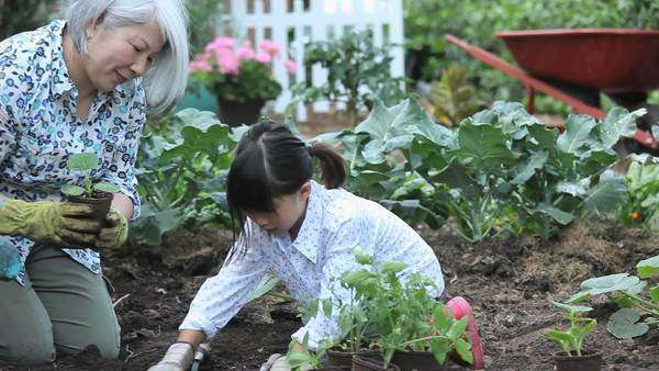 Asian grandmother teaching granddaughter to plant cucumbers in vegetable garden Royalty-free stock video