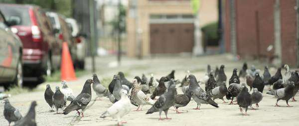 Wide shot of pigeon flock taking off from a street Royalty-free stock video