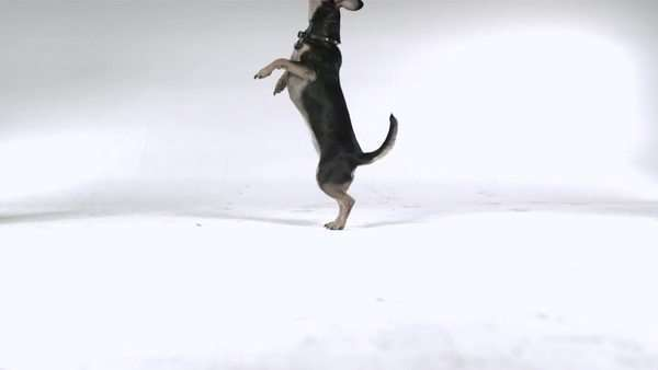 Slow motion shot of a Chihuahua jumping on its hind legs Royalty-free stock video