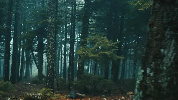 Passing By Forest Mountain Pine Trees Surrounded In Mist And Fog At