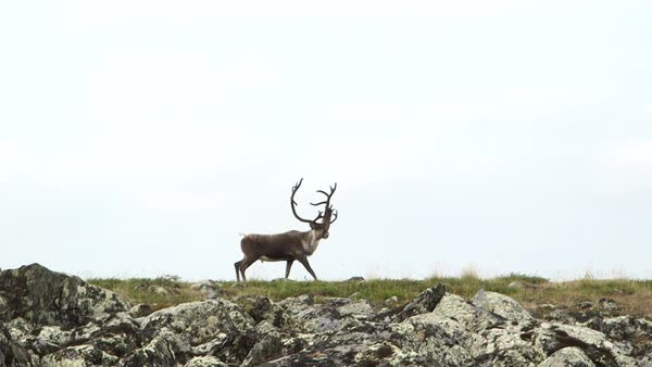Wide shot of a deer grazing in a field in Nunavut, Canada Royalty-free stock video