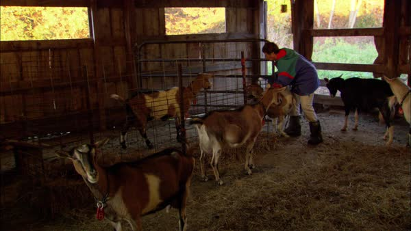 Montage of a woman with goats on a farm Rights-managed stock video