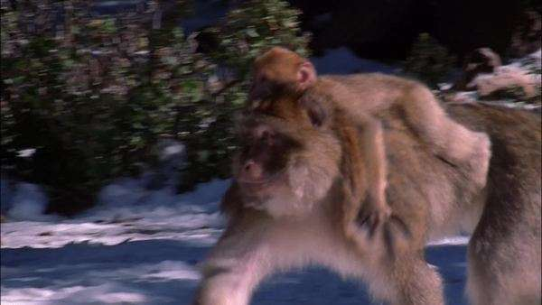 Tracking shot of a baby monkey riding on back of mother Rights-managed stock video