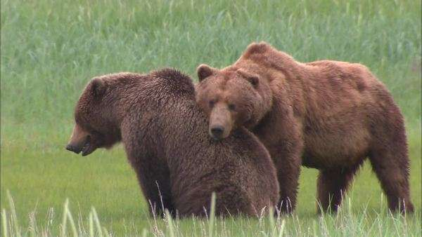 Panning shot of grizzly bears mating Rights-managed stock video