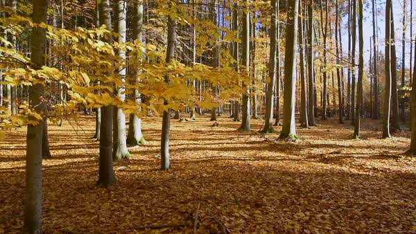 Beautiful autumn forest leaves falling Royalty-free stock video