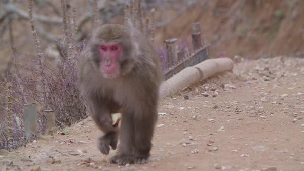 Running Monkey
