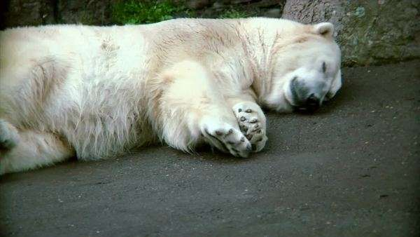 polar bear laying down resting stock video footage dissolve