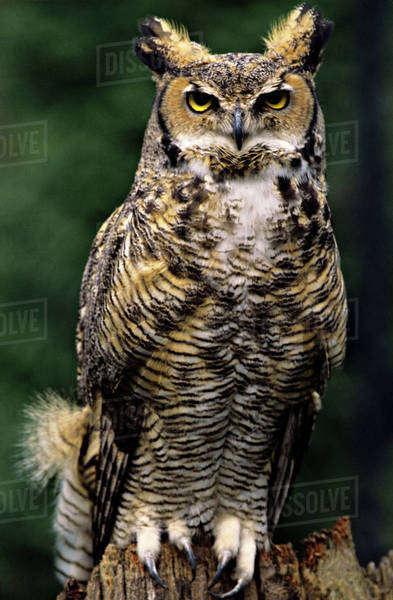 Great Horned Owl  Bubo Virginianus   Full Body Eye Contact