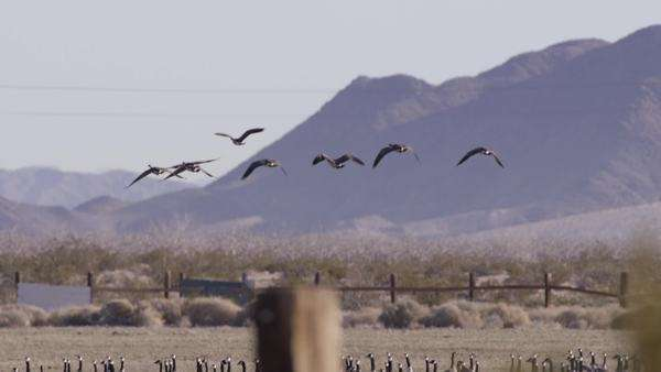 Wide-angle shot of geese flock flying above a field Royalty-free stock video