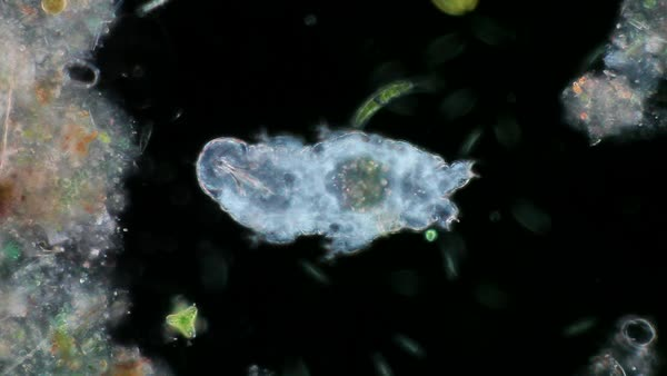 Water bear, or tardigrade, light microscopy. Rights-managed stock video