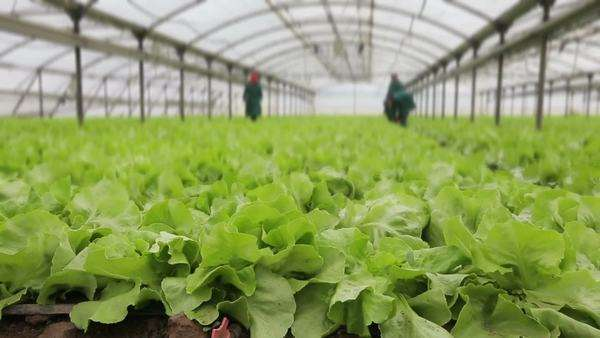 Fresh lettuce growing in a greenhouse. Royalty-free stock video