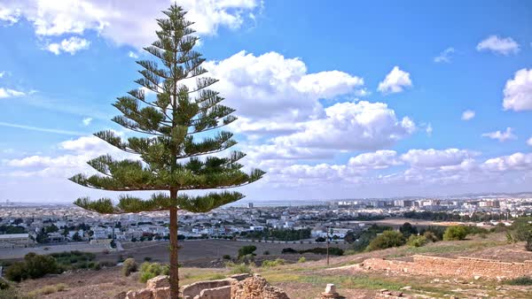 Lonesome Pine Tree Above Tunis Cityscape Wide Shot Of Tree Standing On The Ruins Of Old Carthage Civilization Above The Tunis City In Tunisia Blue