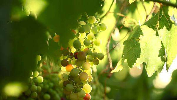 A bunch of grapes hanging from a vine Royalty-free stock video