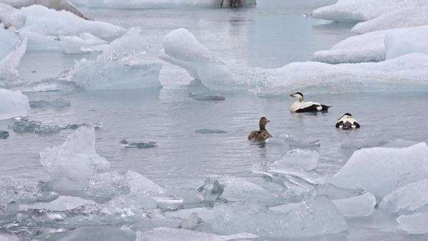 Ducks swimming near icebergs Royalty-free stock video