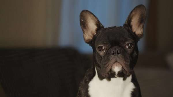 French Bulldog looking at camera Royalty-free stock video