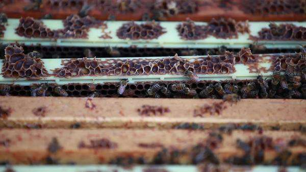 Close up shot of a frame being removed from a beehive Royalty-free stock video