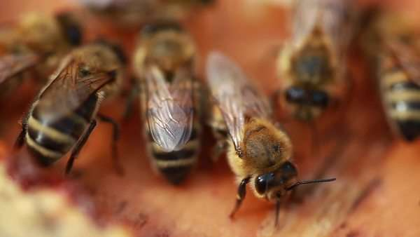 Extreme close up shot of honey bees in a beehive Royalty-free stock video