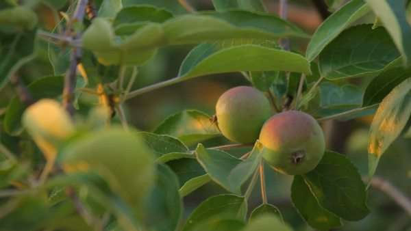 Apples on the branches with leaves, sunlight, close-up Royalty-free stock video