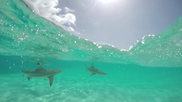 SLOW MOTION UNDERWATER: Blacktip sharks swimming in shallow lagoon in front  of beautiful tropical island in French Polynesia stock footage