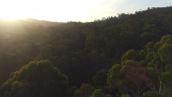 AERIAL CLOSE UP: Flying above eucalyptus tree canopies in magical misty jungle forest in sunny Australia at golden sunrise. Eucalyptus forest shrouded in mysterious mist. Royalty-free stock video