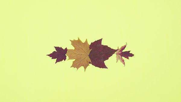 Stop motion of leaves in yellow background Royalty-free stock video