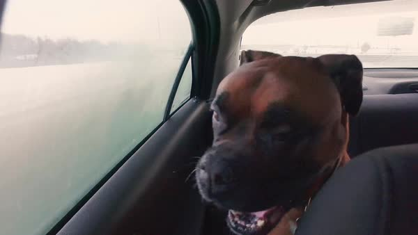 Medium close up shot of a boxer traveling by car Royalty-free stock video