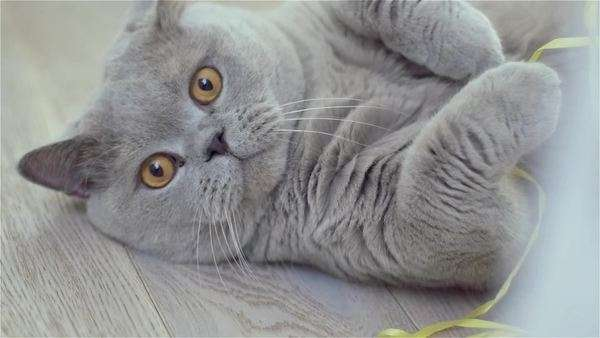Slow motion cute gray British shorthair lying on the floor looking up at the camera Royalty-free stock video