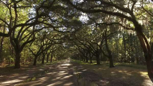 A tracking dolly shot of traveling through the mossy trees on Oak Avenue outside the Wormsloe Historic Site near Savannah, Georgia. Royalty-free stock video