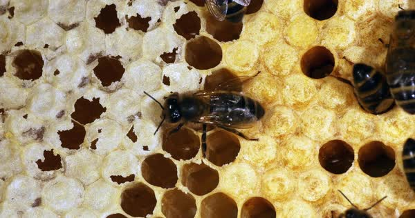 European Honey Bee, apis mellifera, Black Bees on a Ray, brood frame: the  bees remove the honey to move it to make it a brood, Bee Hive in Normandy
