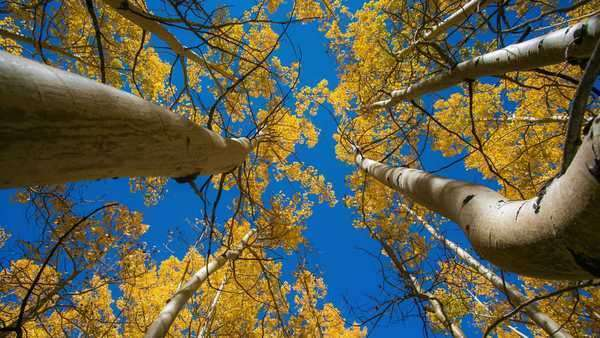 Timelapse dolly shot of Aspen Trees during fall. Royalty-free stock video