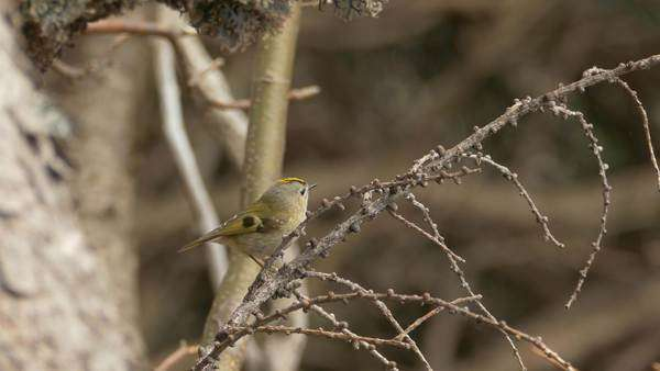 Bird songs: gold crest (Regulus regulus) singing on a larch branch and  flying away  An old English name for the gold crest is the