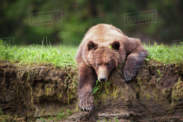 Grizzly bear (ursus arctos horribilis) panoramic ...