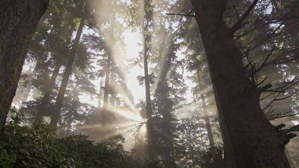 Shafts of morning light through a forest on Vancover Island, BC, Canada Royalty-free stock video