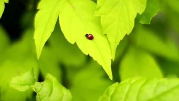 Ladybug walking across a leaf Royalty-free stock video