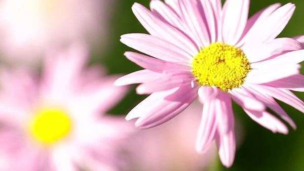 Beautiful marguerite flowers basking in the sun Royalty-free stock video