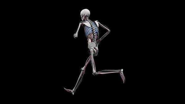 Computer animation of the male body running showing internal organs, on a black background, orbital view. Royalty-free stock video