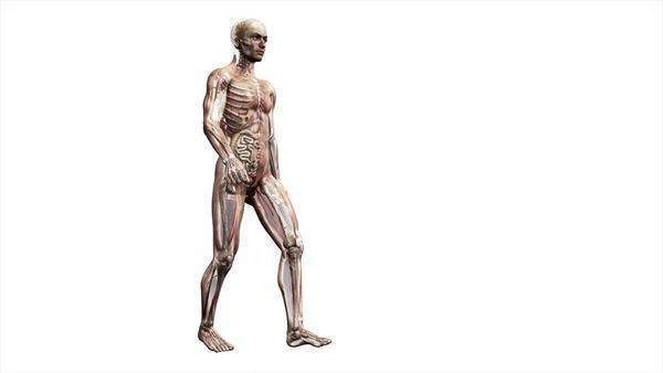 Computer animation of the male body walking showing internal organs and muscles. Royalty-free stock video