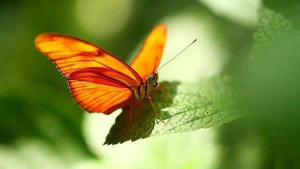 An orange butterfly rests on a green leaf, gently blowing in the breeze Royalty-free stock video