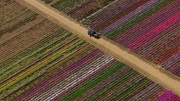 Aerial shot of flower farm, Los Angeles, California Royalty-free stock video