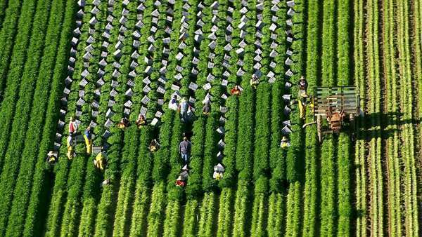 California, USA - March 22, 2012: Aerial shot of farm workers harvesting vegetables at farm Royalty-free stock video