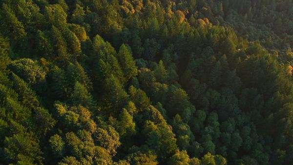 Beautiful forest trees in late evening sunlight Royalty-free stock video
