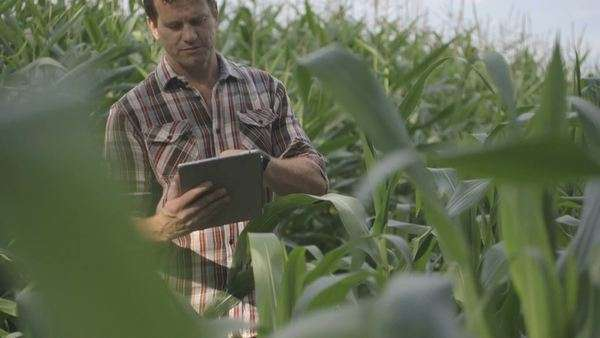 Man standing and using digital tablet in corn eld Royalty-free stock video