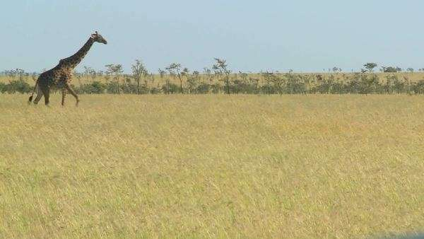 A giraffe crosses a golden savannah in Africa. Royalty-free stock video