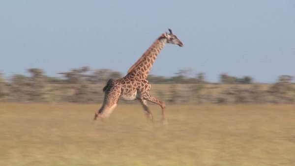 A giraffe runs across the savannah in Africa. Royalty-free stock video