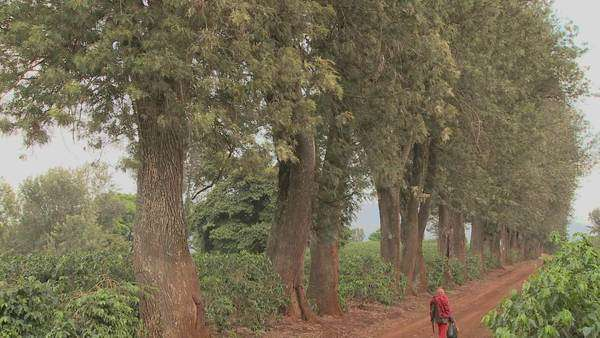 A worker at a coffee plantation walks down a dirt road in Africa. Royalty-free stock video