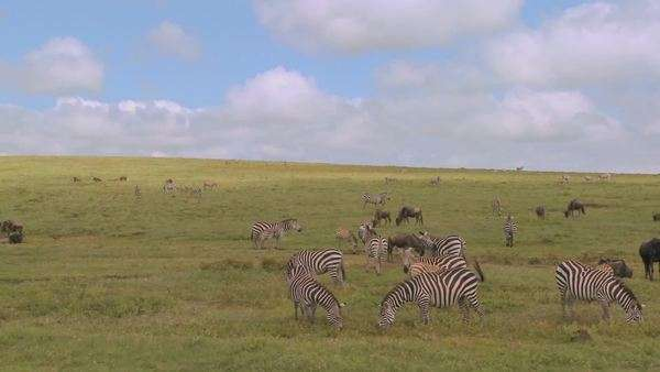 A pan across the African savannah with zebras and wildebeest grazing. Royalty-free stock video