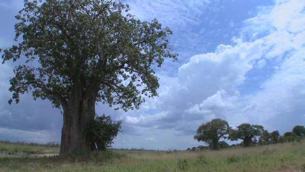 Beautiful timelapse shots of clouds moving behind majestic baobab tree in Tarangire, Tanzania. Royalty-free stock video
