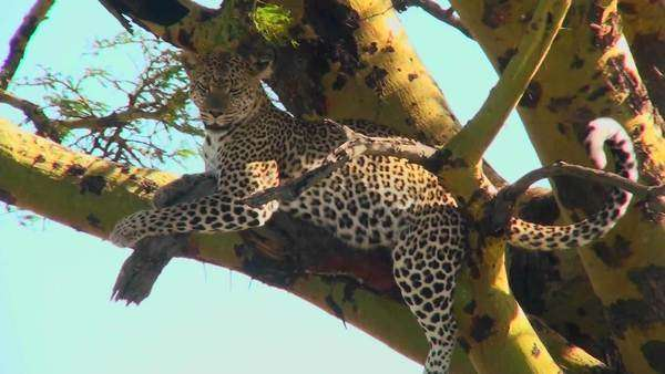An African leopard looks agitated while resting in a tree. Royalty-free stock video